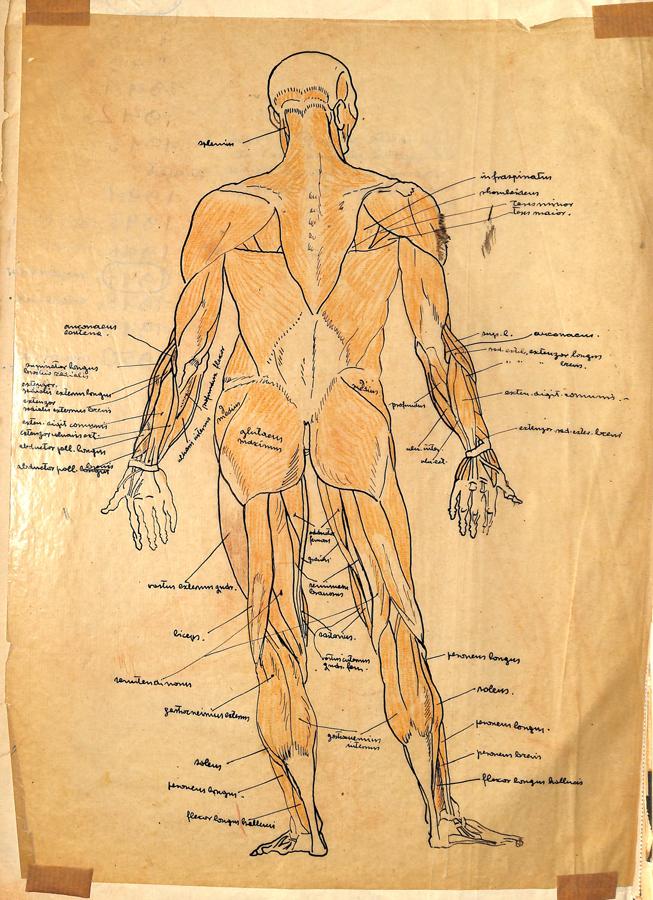 Likovni arhiv HAZU, Muzej za povijest medicine / Od anatomije do animacije